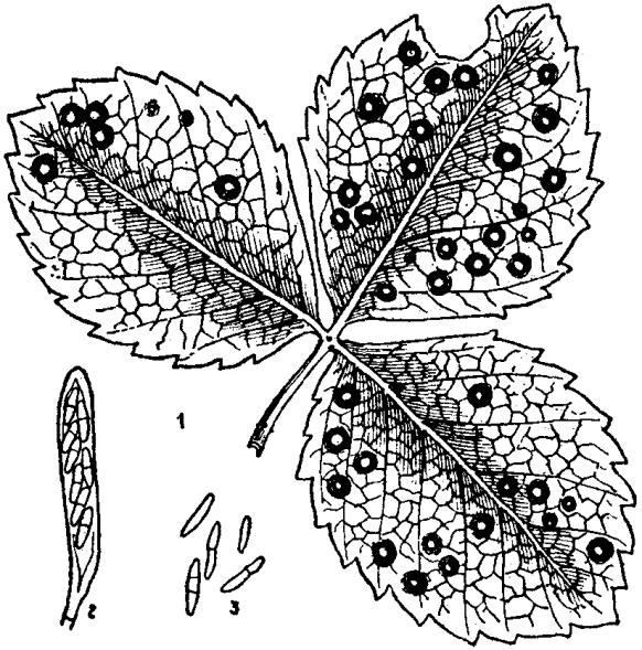 fungal leaf spot 2
