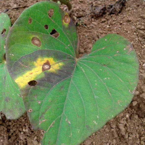 fungal leaf spot 3