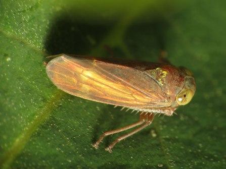 Leafhopper_(16056008444)