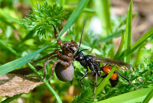 parasitic wasp 3