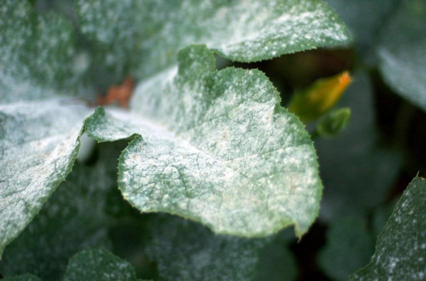 Powdery mildew on pumpkin leaves.
