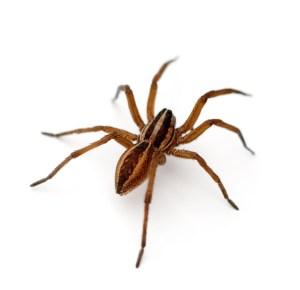 Rabid Wolf Spider (Rabidosa rabida) on a white background