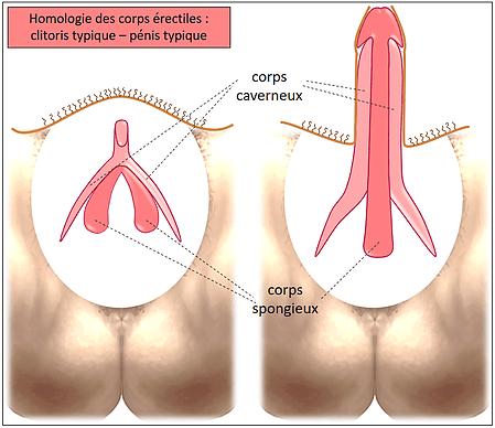 Similitudes entre clitoris et pénis