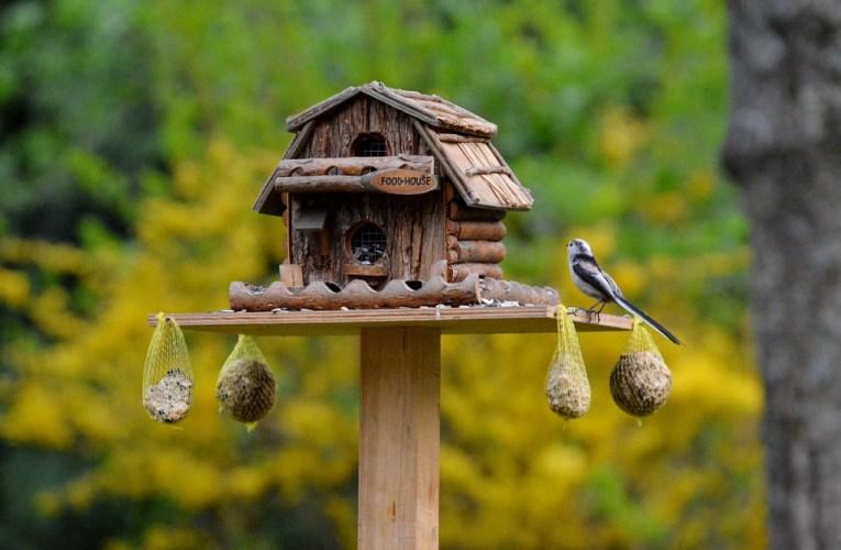 Ingin Punya Suara Burung Perkutut Paling Bagus? Cuma Disini Caranya!