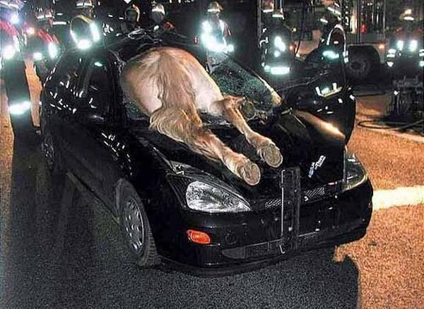 Car Accident Fail - Ran into a horse - horse through windshield