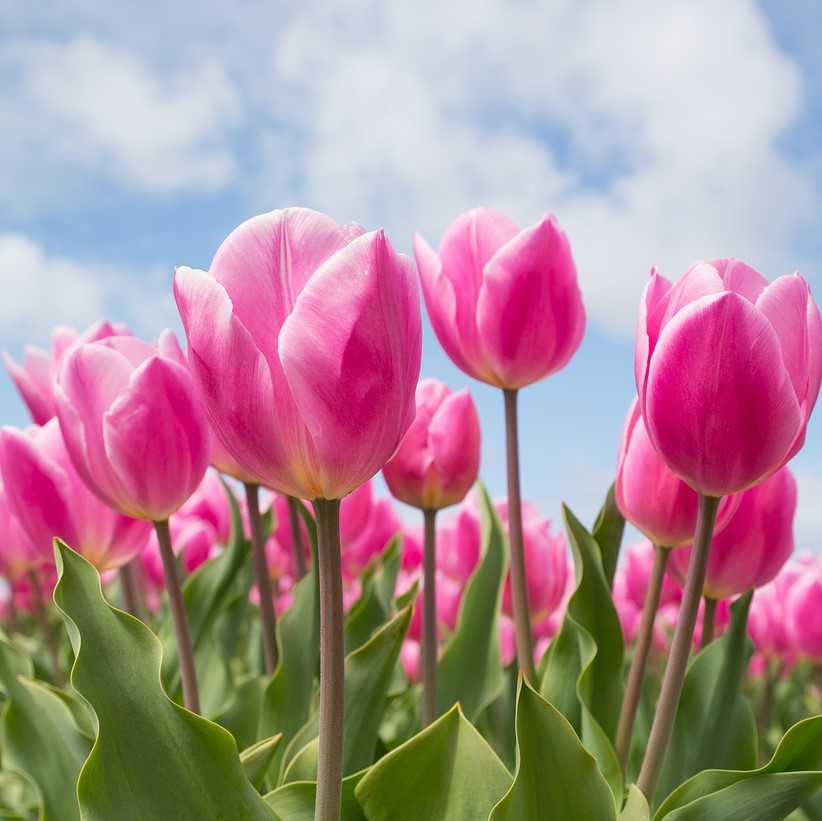 Property, flowers, tulips
