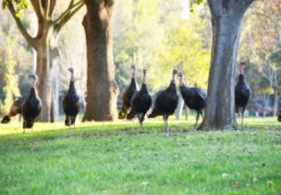 wild turkeys, thanksgiving, geeky