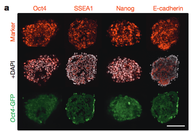 Obokata FIg. 2a, STAP cells