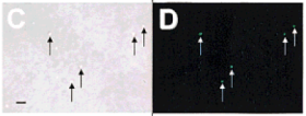 Spore stem cells paper