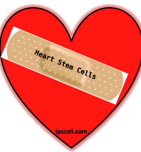 heart stem cell, stem cells for hearts