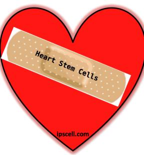 heart stem cell, stem cells for hearts