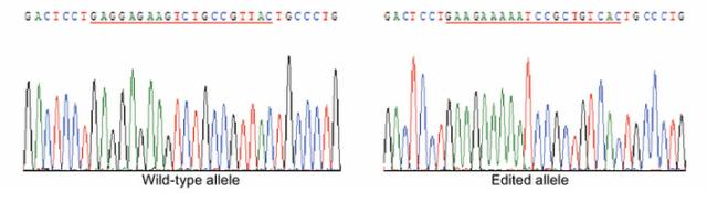 human embryo genetic modification
