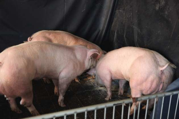 double-muscled-GM-pigs