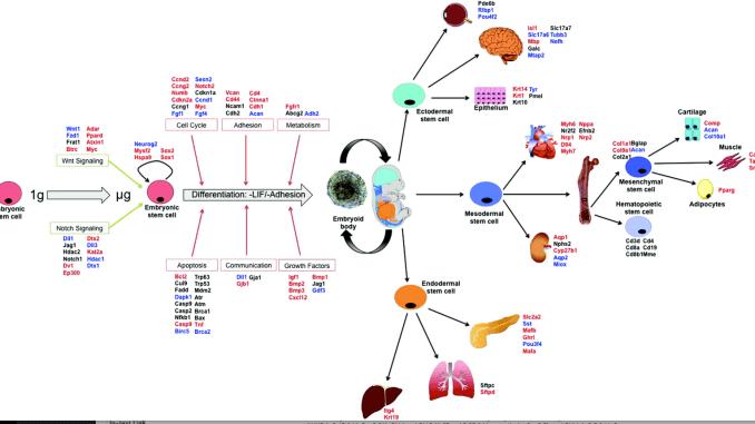Stem cells space Figure 5