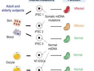 Mitalipov mitochondrial mutations