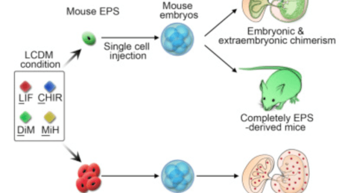 stem cells research paper