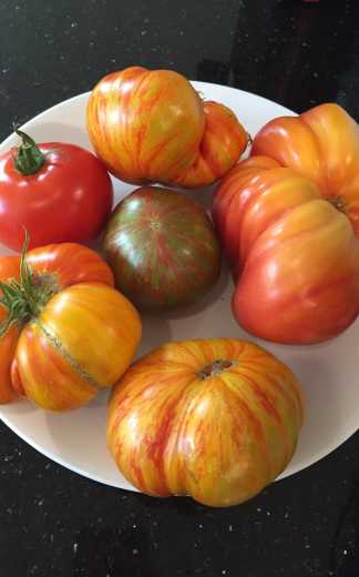 tomato garden; Beauty King, Lover's Lunch