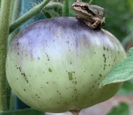 Frog on purple tomato