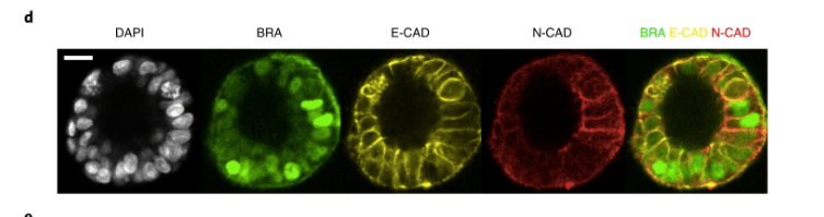 Fig-4d-Nat-Cell-Bio-2019-Simunovic-et-al