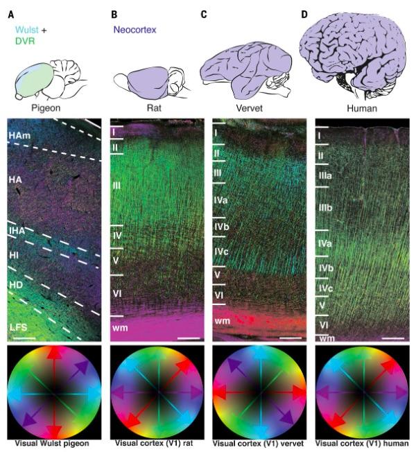 Crow brain, brains