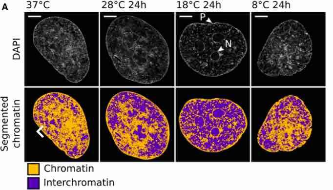 Cold-chromatin