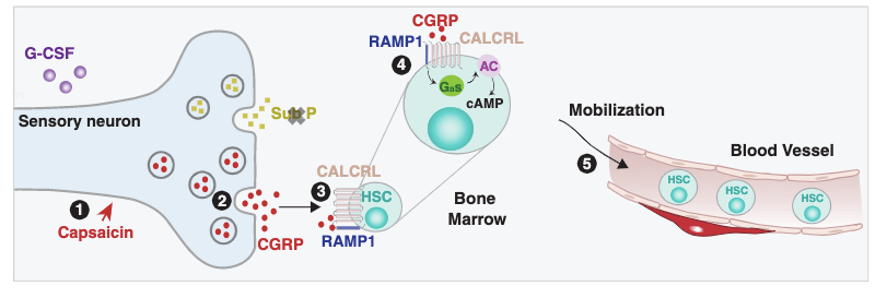 gao et al nature nociceptors stem cells