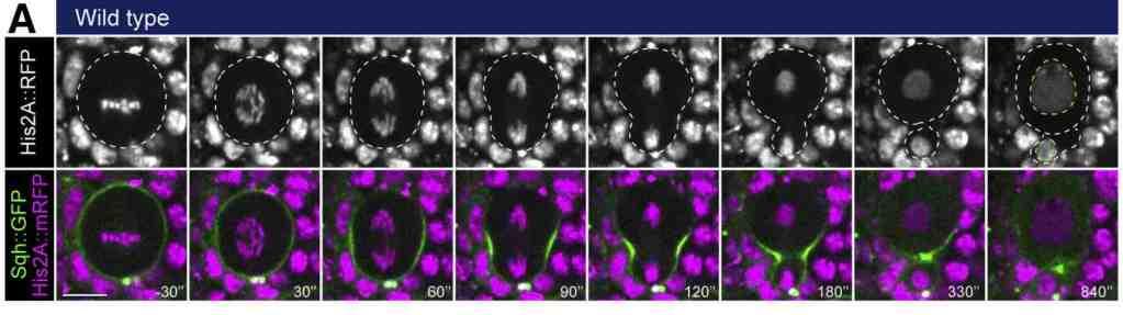 Asymmetric division and chromatin