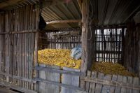 Corncobs stored in Chiapas, Mexico.  / Credit:Mauricio Ramos/IPS