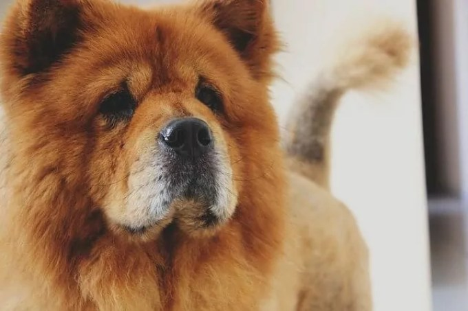 Chow Chow Breed and Nutrition Guide
