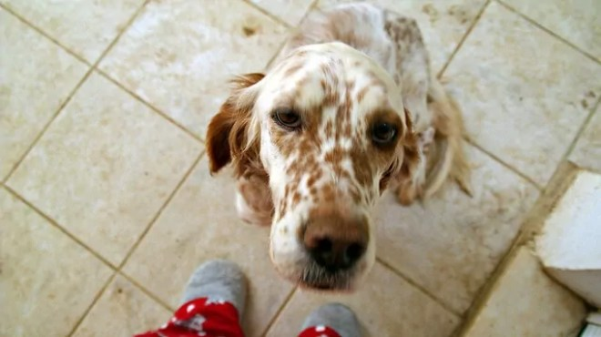 What To Feed English Setters