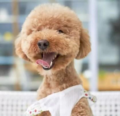 Puppy Wearing Pads in Playpen