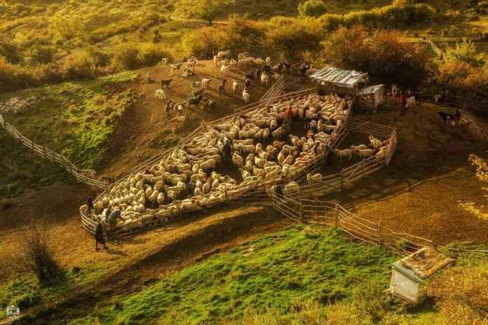alesul-oilor