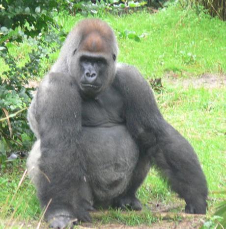 how big is a gorilla penis xxx video carton