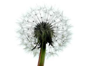 Weeds like the dandelion may be the gardener's nemesis -- but are also a spectacularly successful native species