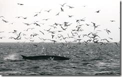 Fin whale feeding off the coast of West Cork, Ireland
