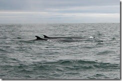 Fin whales (Balaenoptera physalus) surface off the coast of West Cork