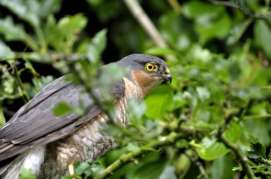 Eurasian Sparrowhawk (Accipiter nisus), Male, West Cork, Ireland