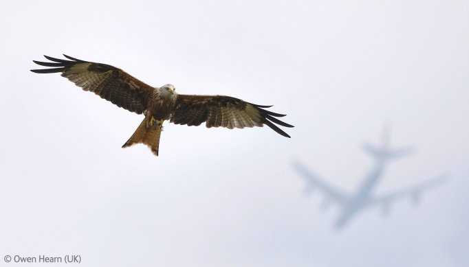 Flight-paths -- red kite by Owen Hearn, Young Wildlife Photographer of the Year 2012