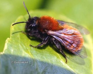 Andrena fulva - extinct solitary bee rediscovered in 2012