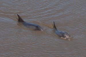 Bottlenose Dolphins Bunratty
