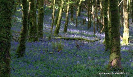 Bluebells carpet an Irish woodland