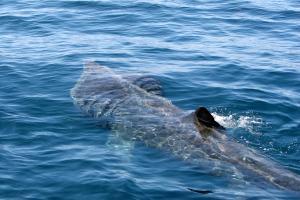 Basking shark off the Irish coast