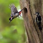 Great Spotted Woodpecker in flight