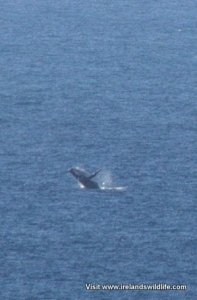 Humpback whale breaching -- photographed from shore at Kalbarri, WA