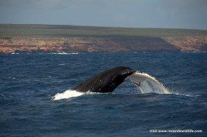 Humpback whale, Kalbarri, WA