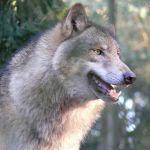 European grey wolf