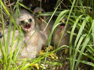 Hen harrier heather as a chick
