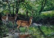 Fallow deer fording a stream