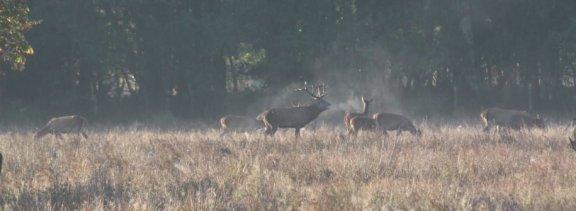 Red deer stag guarding his harem