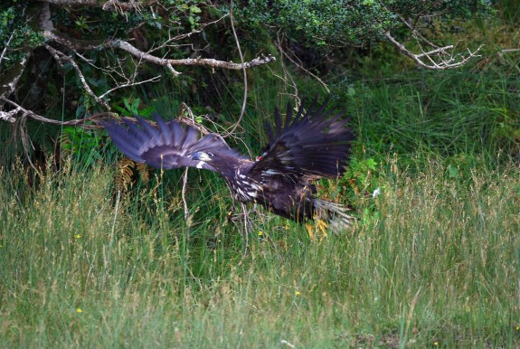 Juvenile white-tailed-eagle takes flight
